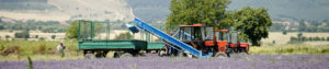 ラベンダー収穫